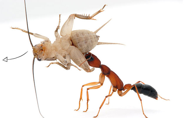 Ant Eating and Feeding Habits antARK