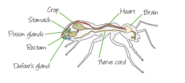 ant_anatomy_internal