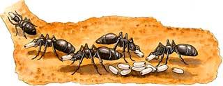 ant_pupa