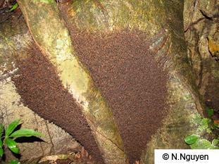 army-ant-nest-bivouac
