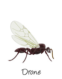 drone-alate-ant-labeled