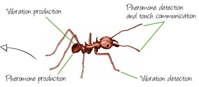 leaf-cutter-ant-communication2