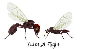 nuptial-flight