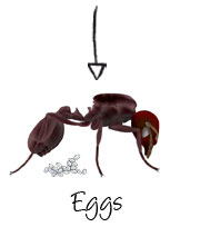 ant-eggs