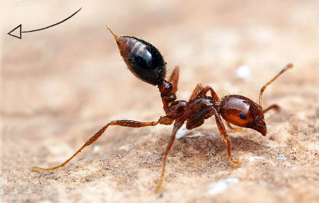 ant-pests-problems-fire-ant