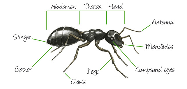 External Ant Anatomy | abdomen, head, compound eyes, antenna ...