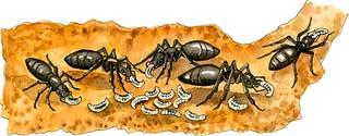 ant_larvae