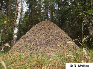 wood-ant-nest-mound