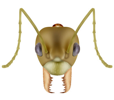 Weaver Ant Species