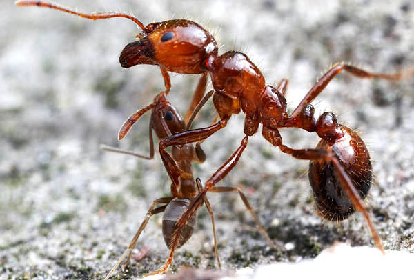 Argentine Ants species Linepithema humile  Facts Identification