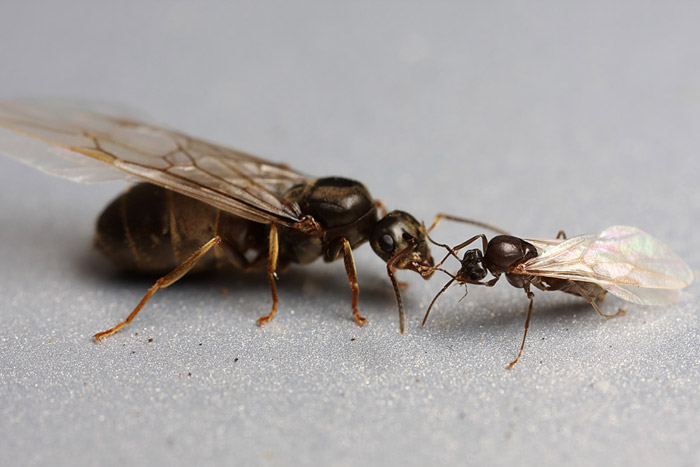 Winged Drone | Alate | Male Ant | Facts, Information and Photos